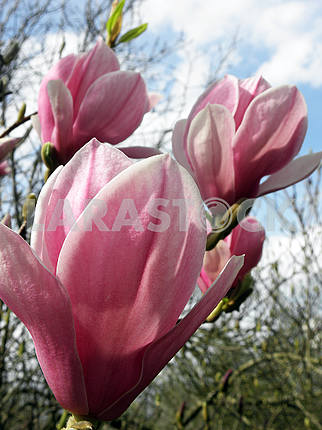 Magnolia's bloom in the springtime,Croatian countryside,12