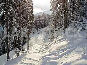 Alpine spruce in the snow.