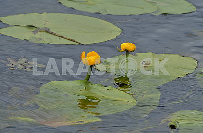 Water lilies on the Dnieper