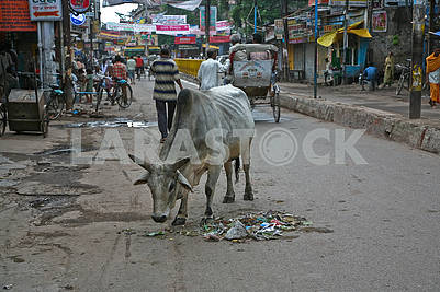 21Animal on the central street of Varanasi.