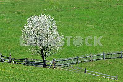 Flowering tree on a green lawn