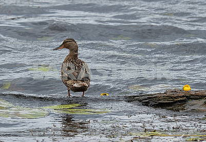 Ducks in the Dnieper