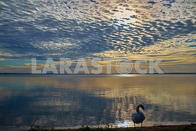 Swan near the lake during the colorful sunset