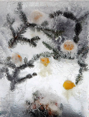 Frozen Citrus and Fir Branches