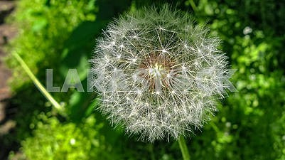 Macro picture of a dandelion