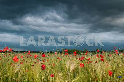 BARLEY FIELD WITH WILD POPPIES