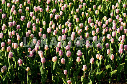 A lot of tulips on the flowerbed, shot from above, in the park