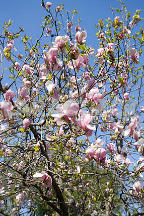 A blooming magnolia tree