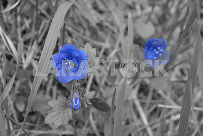 Beautiful blue flowers on a black and white picture