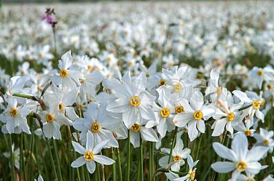 Narcissus Valley