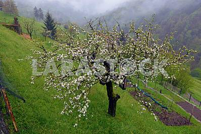 blossoming apple tree on the hillside