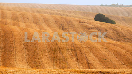 Yellow field after harvesting. Mowed Field