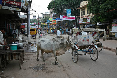 The sacred animal of India on the central street of Varanasi.