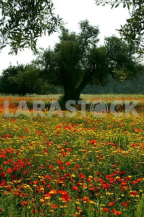 Tree among the poppies and chamomile