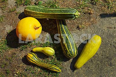 Multicolored zucchini, squashes and pumpkin