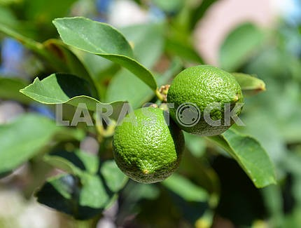Lime on a tree branch