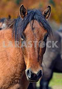 Carpathian horse on the farm