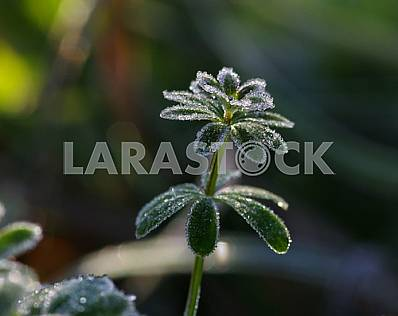 A green plant with round petals is covered with hoarfrost. Macrophotogaphy.