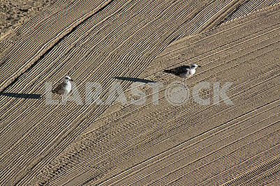 Two lonely seagulls on cleaned by a tractor sand on the Mediterr