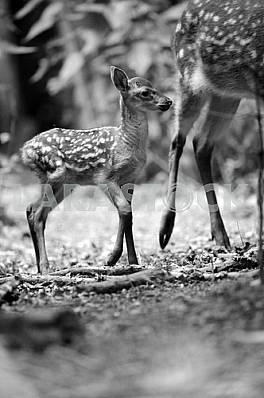 A baby deer. Black and white image
