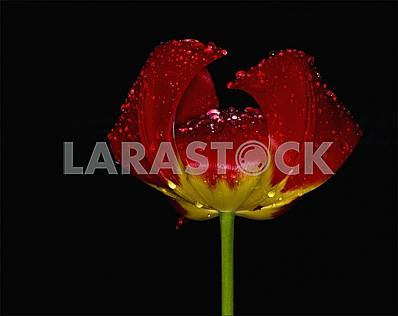 Rain drops on a red-yellow tulip. Close-up. Black background.