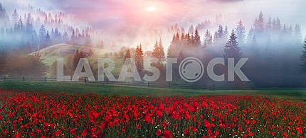 Alpine poppies in the Carpathians