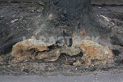 The roots of an old tree