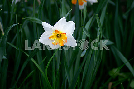 White Narcissus Flowers, Spring
