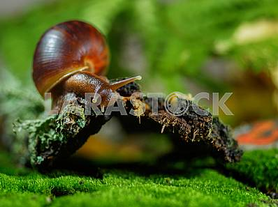 Snail Achatina giant on the green, mottled background