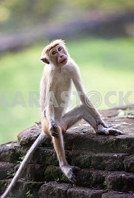 Monkey on the island of Sri Lanka