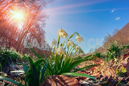 Snowdrops - spring flowers