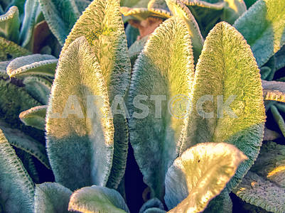 Lamb's Ears, Turkish lamb's ear, Stachys byzantine (Stachys Lamiaceae). Garden plants close-up.